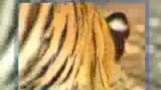 Thumb Mono que molesta y se burla de un par de tigres