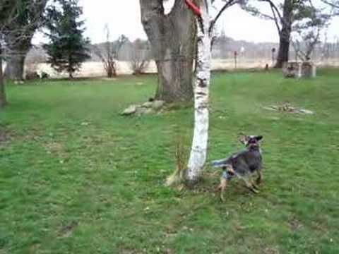 blue heeler jumping up a tree to get her frisbe Video