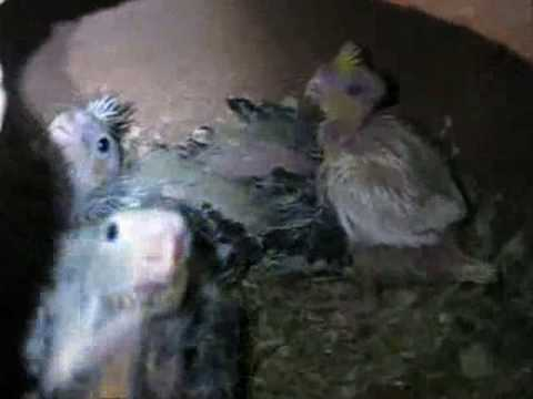 Syed Shujaat Ali Birds Farm  Part 9 (Cocoteils) Steel Town Gulshan-E-Hadeed Karachi