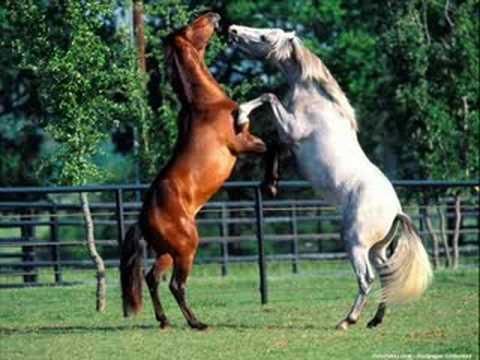 atlar at horse horses