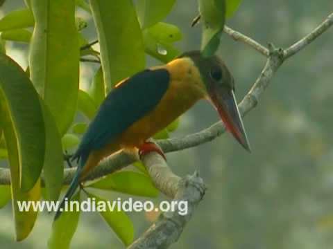 Stork-billed Kingfisher or Halcyon Capensis