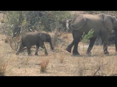 Mother and Baby Elephant cross the road after a dip- HD