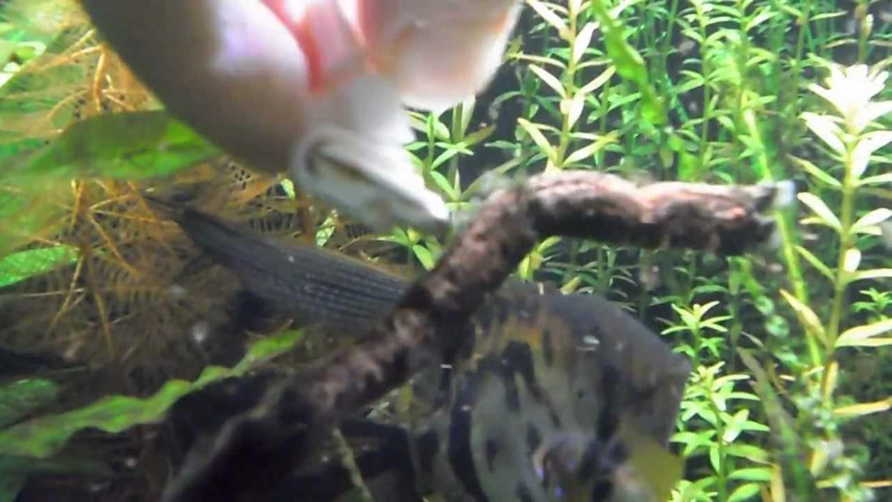 Чёрная борода в аквариуме фото
