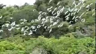 アマサギ120羽乱舞