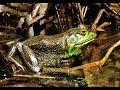 Frame from Bullfrog - American Bullfrog - Mating Call