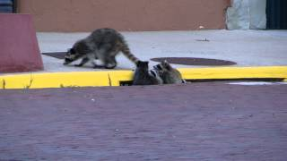 Raccoon Family Outing, Trinidad, Colorado