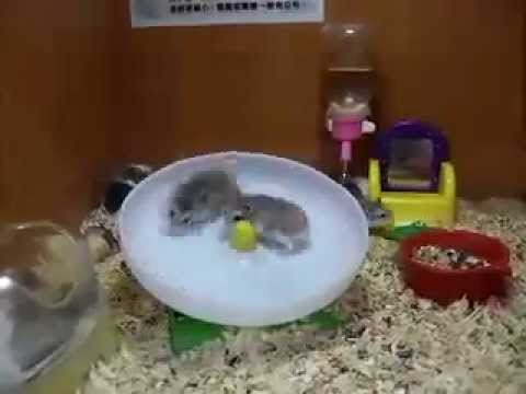 Crazy Hamsters Wheel Crazy Hamsters Playing on a