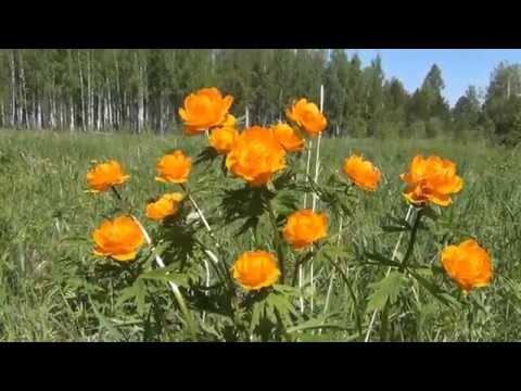 Цветы сибирские лесные орхидеи жарки земляника незабудки +Эксдачник