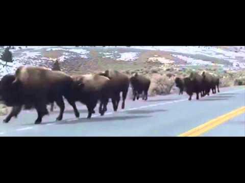 Animals fleeing Yellowstone supervolcano