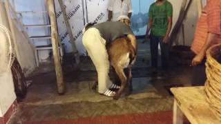 big and heavy weight goat Qurbani