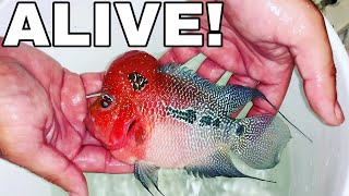 FISH DOCTOR SAVES DYING FLOWERHORN FISH PET!