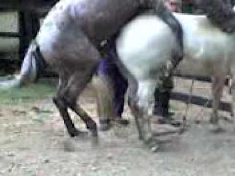 INSEMINACION ARTIFICIAL EQUINOS equine insemination 01