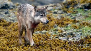 Wolf Captured on Stakeout | Expedition Wolf | BBC Earth