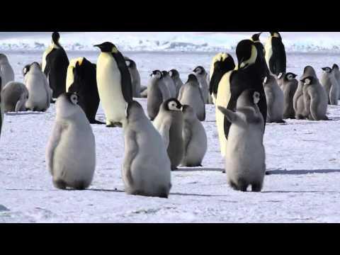 コウテイペンギンの営巣地を訪ねる旅(Emperor penguin rookery)