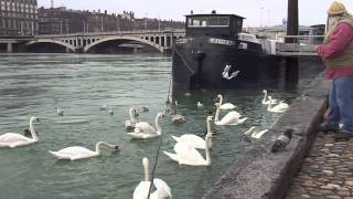 Feeding Swans On The Rhone River