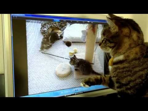 Cat Thinks Kitties on TV Are Real (and Searches Everywhere For Them When the Screen Goes Blank!)