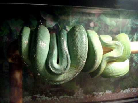 *BIG Surprise* Breeding Update Green Tree Python (Medusa & Merlin)
