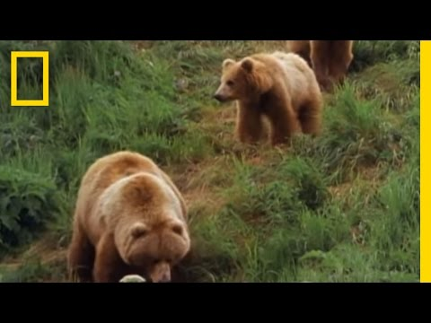 Mom Grizzly Teaches Her Cubs Video