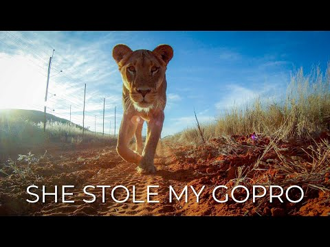 Lions pinch camera