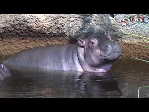 カバの赤ちゃんお披露目 8月に誕生 神戸・王子動物園