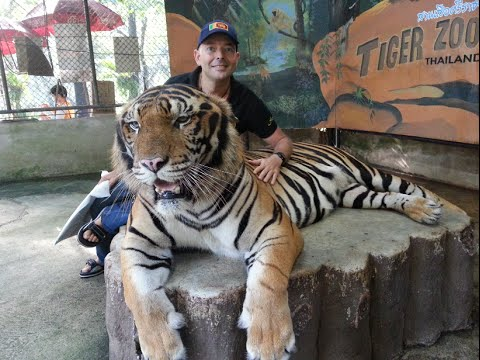 Tiger show tiger zoo sriracha thailand youtube - Show me a picture of the tiger ...
