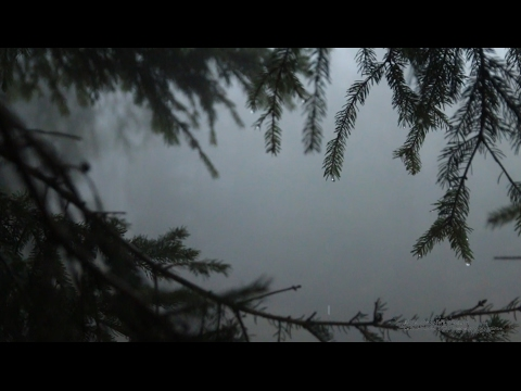 Relaxing Sound of Rain in Foggy Forest 1 Hour / Rain Drops Falling From Trees