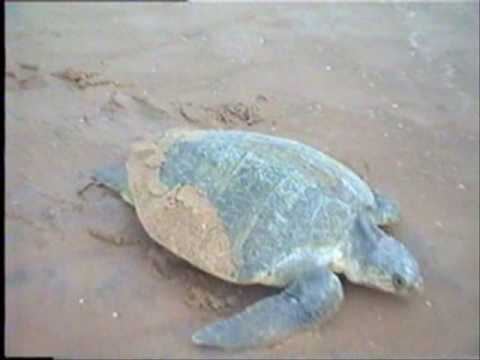 Greenpeace Lie II: Olive Ridley Turtles at Orissa Coastline near TATA Dhamra Port Project