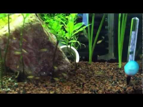 Jewel Cichlids planted tank