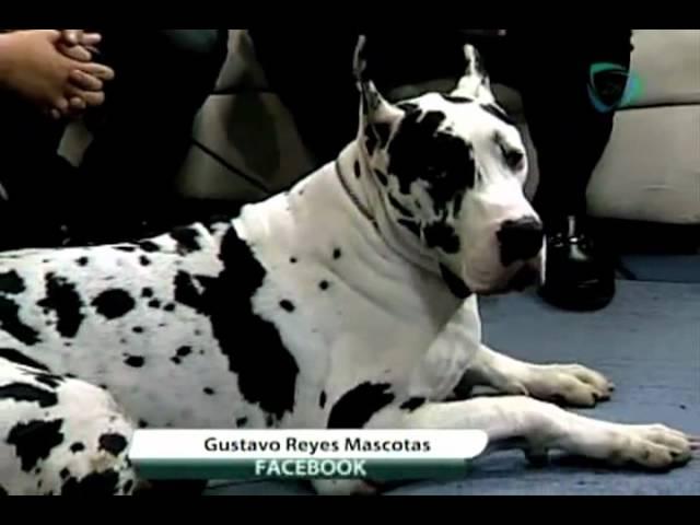 Viernes de mascotas: el Gran Danés