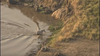 Zebra escapes crocodiles only to be hunted by lions
