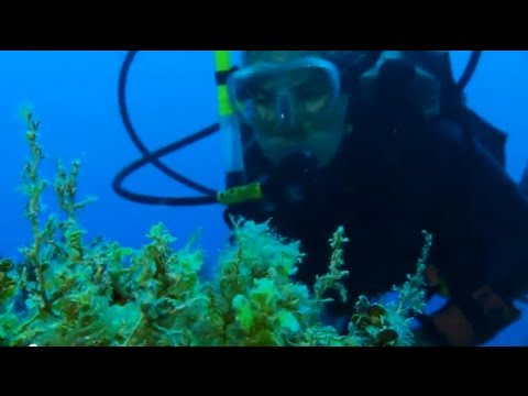 Jamaica--Reef Rescue