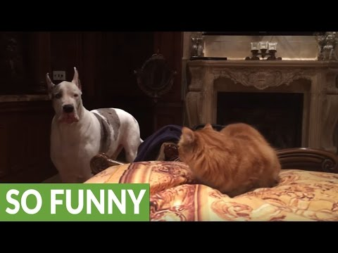 Great Dane barks at cat to get off bed, quickly takes his place