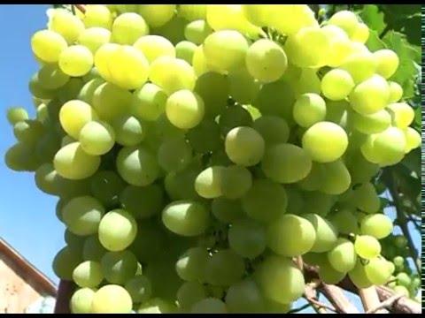 выращивание винограда в сибири видео-ят1