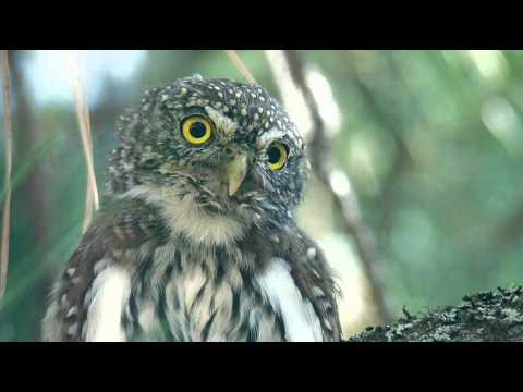 Echoes of Nature - Rain with Pygmy Owl