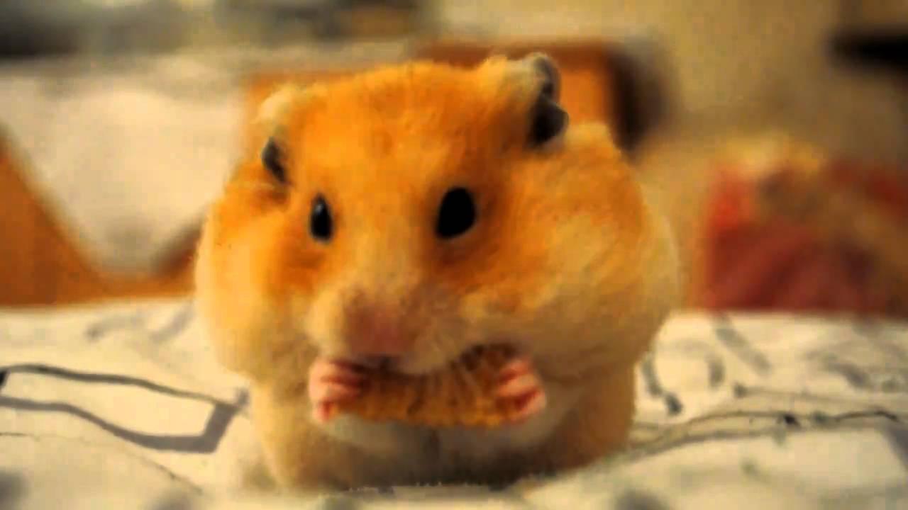gold hamster!!! - YouTube