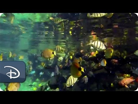Under The Sea With Supplied Air Snorkeling In Rainbow Reef   Aulani Resort &amp  Spa   Disney Parks