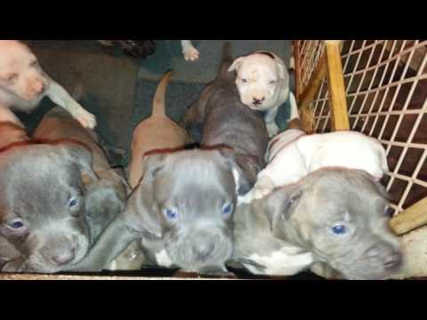 Blue nose pitbull puppies for sale in Newark NJ $550***y