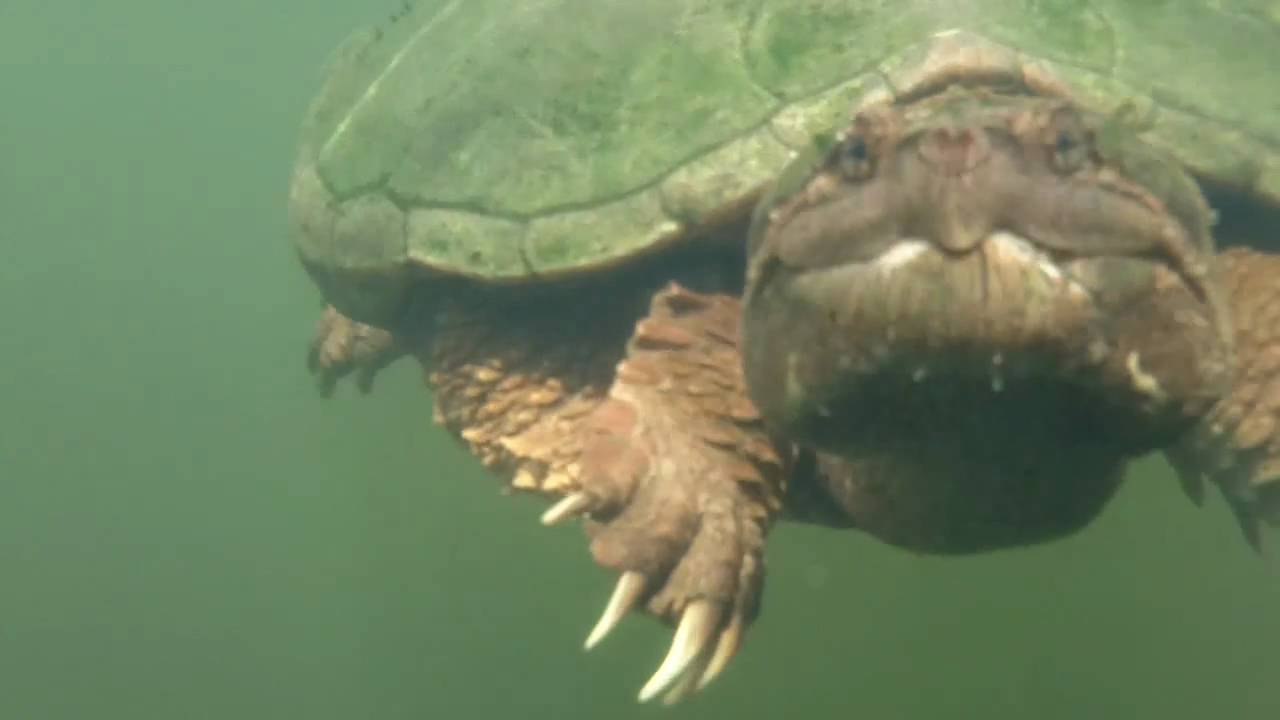 snapping turtle underwater   youtube