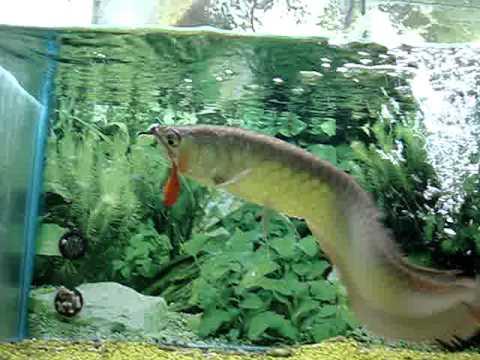 arowana pesce dragone di origine giapponese youtube