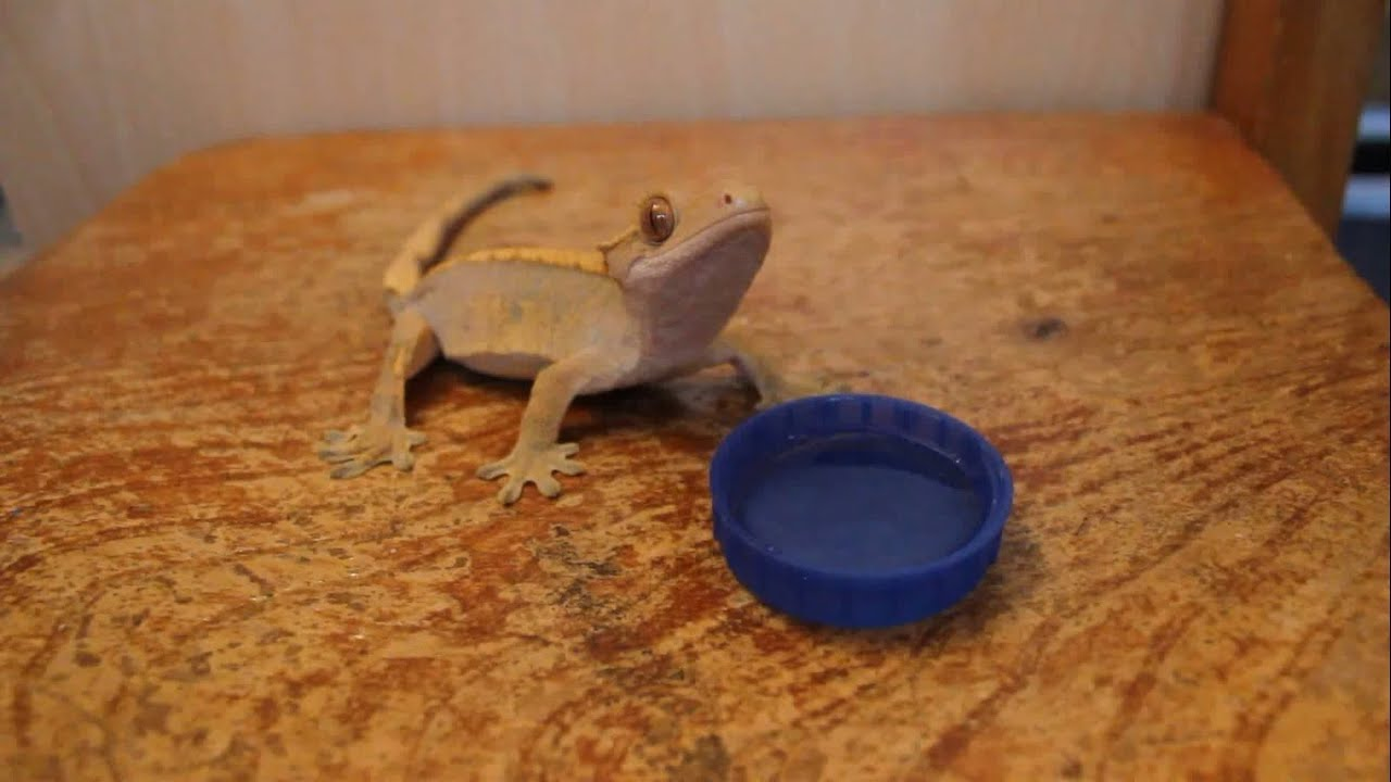Lizard Drinking Water