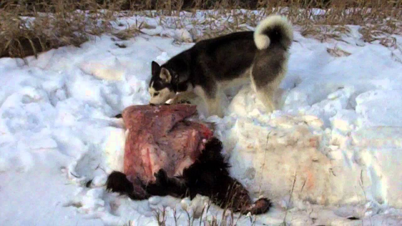 Can Dogs Eat Bear Meat