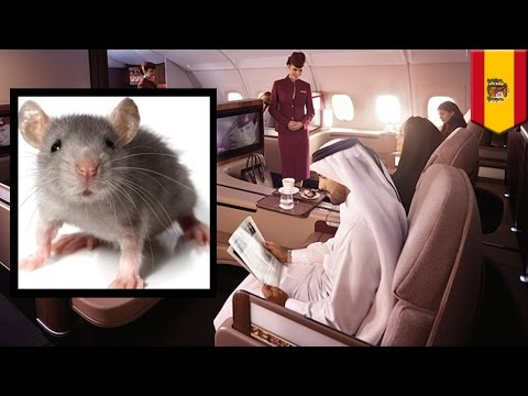 Ratatouille: Qatar Airways customers waited hours for a stowaway mouse to be killed to board a fligh