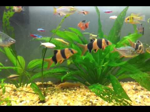 El co2 presente en el agua impide a los peces detectar a for Peceras con peces