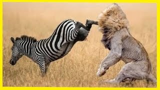 Lion vs Zebra -  Wild Animals