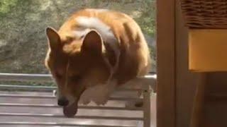 フェンスを越えられないぽっちゃりコーギー犬