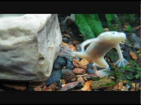Albino African Clawed Frog Albino African Dwarf Frogs do