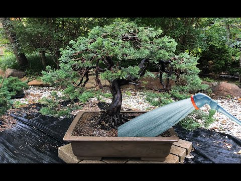 Bonsai Watering Techniques