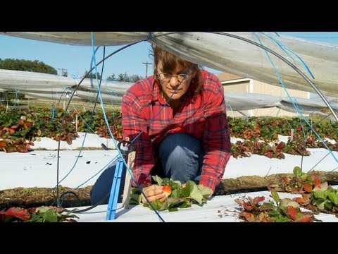 A USDA research geneticist is working on a way to grow strawberries year round on the east coast. Dr. Kim Lewers is testing some strawberry cultivars in a ne...