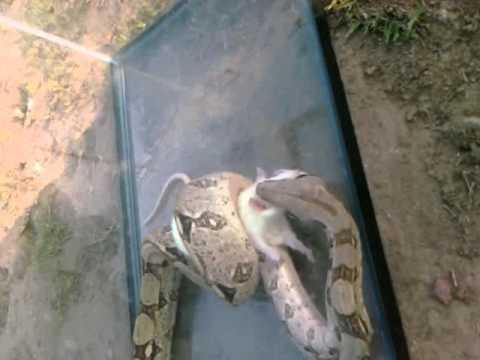 The snake eats
