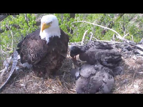 MNBound Eagles Harmony 1st Time Self Feeding 5-16-13